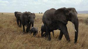 elephant-687338_960_720